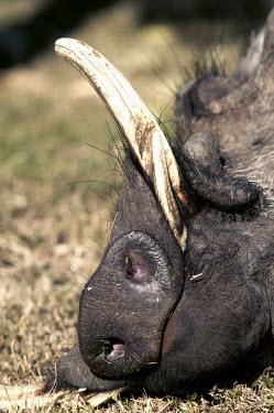 Warthog grazing on short grass. happy,sleep,sleeping,rest,resting,siesta,tusk,tusks,nose,nostrils,mouth,warthog,Phacochoerus,pig,pigs,hog,hogs,herbivores,herbivore,vertebrate,mammal,mammals,terrestrial,Africa,African,savanna,savanna
