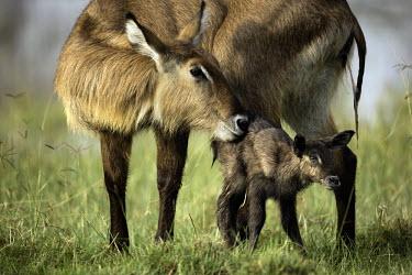 Mother waterbuck cleans placenta off new born mother and calf,calf,juvenile,young,baby,babies,new born,birth,behaviour,antelope,antelopes,herbivores,herbivore,vertebrate,mammal,mammals,terrestrial,ungulate,horns,horn,Africa,African,savanna,savann