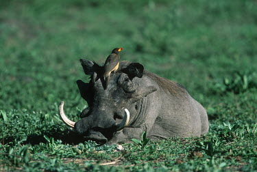 Warthog with yellow-billed oxpecker looking for parasites Phacochoerus aethiopicus,yellow-billed oxpecker,oxpecker,bird,birds,birdlife,behaviour,symbiosis,symbiotic,calm,relax,relaxed,chill,siesta,rest,resting,tusk,tusks,grass,grassland,warthog,Phacochoerus,