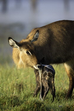 Mother waterbuck cleans placenta off new born mother and calf,calf,juvenile,young,baby,babies,new born,birth,placenta,eating,feeding,nutrients,behaviour,antelope,antelopes,herbivores,herbivore,vertebrate,mammal,mammals,terrestrial,ungulate,horns,