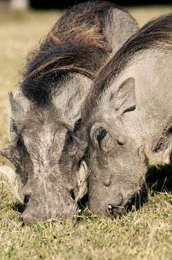 Warthog grazing on short grass. grazing,grazers,couple,pair,cuddle,nuzzle,relationship,warthog,Phacochoerus,pig,pigs,hog,hogs,herbivores,herbivore,vertebrate,mammal,mammals,terrestrial,Africa,African,savanna,savannah,safari,Suidae,C