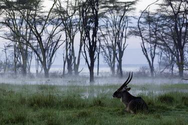 Waterbuck resting in a misty flooded field mist,fog,wetland,flooded plain,atmosphere,dew,antelope,antelopes,herbivores,herbivore,vertebrate,mammal,mammals,terrestrial,ungulate,horns,horn,Africa,African,savanna,savannah,safari,Waterbuck,Kobus e