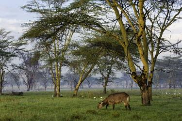 Waterbuck grazing with egret in the background antelope,antelopes,herbivores,herbivore,vertebrate,mammal,mammals,terrestrial,ungulate,horns,horn,Africa,African,savanna,savannah,safari,Waterbuck,Kobus ellipsiprymnus,Herbivores,Even-toed Ungulates,A