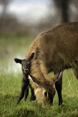 Mother waterbuck and new born mother and calf,calf,juvenile,young,baby,babies,new born,birth,behaviour,antelope,antelopes,herbivores,herbivore,vertebrate,mammal,mammals,terrestrial,ungulate,horns,horn,Africa,African,savanna,savann