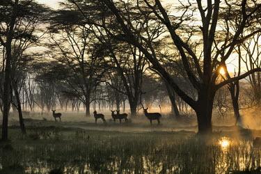 Waterbuck at sunrise in misty flooded woodland antelope,antelopes,herbivores,herbivore,vertebrate,mammal,mammals,terrestrial,ungulate,horns,horn,Africa,African,savanna,savannah,safari,dawn,forest,woodland,sunrise,mist,fog,atmosphere,atmospheric,su
