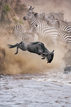 Wildebeest leaping in to water to cross the Mara river, this is part of the annual migration. leap,leaping,jump,jumping,chaos,chaotic,wild,panic,panicked,river,river crossing,rivers,rivers and streams,migrate,migration,crossing,journey,commute,herd,group,mass,wildebeest,brindled gnu,antelope,a