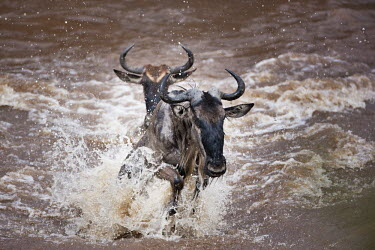 Wildebeest charging through the Mara river, as part of the annual migration. leap,leaping,jump,jumping,chaos,chaotic,wild,panic,panicked,river,river crossing,rivers,rivers and streams,migrate,migration,crossing,journey,commute,herd,group,mass,wildebeest,brindled gnu,antelope,a