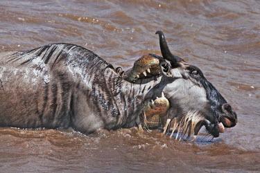 Nile crocodile catching blue wildebeest in the Mara river croc,crocodiles,reptile,hungry,teeth,jaws,prey,victim,danger,dangerous,food,eaten,dinner time,attack,ambush,predator,predation,river,river crossing,rivers,rivers and streams,migrate,migration,crossing