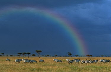 Plains zebra migration on the plains of the Mara with rainbow. Digitally enhanced. herd,migrate,migration,grass,grassland,horizon,landscape,negative space,rainbow,colour,Equus burchelli,Burchell's zebra,striped,stripes,herbivores,herbivore,vertebrate,mammal,mammals,terrestrial,Afric