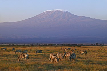 Plains zebra herd with Kilimanjaro in background. (Snow on mountain digitally enhanced). Equus burchelli,Burchell's zebra,striped,stripes,herbivores,herbivore,vertebrate,mammal,mammals,terrestrial,Africa,African,savanna,savannah,safari,zebra,wild horse,horse,horses,equid,equine,herd,group