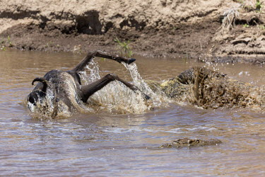 Wildebeest falling prey to a Nile crocodile in an attempt to cross the Mara river. croc,crocodile,crocodiles,Crocodylus niloticus,reptile,hungry,teeth,jaws,prey,victim,danger,dangerous,food,eaten,dinner time,attack,ambush,predator,predation,river,river crossing,rivers,rivers and str