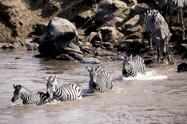 Plains zebra migration crossing Mara river. river,rivers,rivers and streams,crossing,migration,Equus burchelli,Burchell's zebra,striped,stripes,herbivores,herbivore,vertebrate,mammal,mammals,terrestrial,Africa,African,savanna,savannah,safari,ze