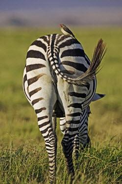 Plains zebra with red billed oxpeckers that comb the animal for ticks and other parasites. oxpecker,Buphagus erythrorhynchus,bird,birds,birdlife,Equus burchelli,Burchell's zebra,striped,stripes,herbivores,herbivore,vertebrate,mammal,mammals,terrestrial,Africa,African,savanna,savannah,safari