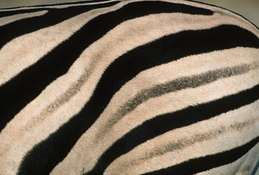 Plains zebra striped coloration confuses predators. skin,colour,colouration,pattern,patterned,patterns,hide,hind,fashion,trade,black and white,Equus burchelli,Burchell's zebra,striped,stripes,herbivores,herbivore,vertebrate,mammal,mammals,terrestrial,A
