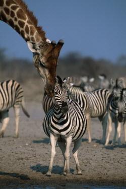Plains zebra with giraffe giraffe,Giraffa camelopardalis,giraffa,friends,Equus burchelli,Burchell's zebra,striped,stripes,herbivores,herbivore,vertebrate,mammal,mammals,terrestrial,Africa,African,savanna,savannah,safari,zebra,