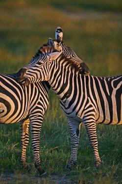 Plains zebra engage in mutual grooming. Equus burchelli,Burchell's zebra,striped,stripes,herbivores,herbivore,vertebrate,mammal,mammals,terrestrial,Africa,African,savanna,savannah,safari,zebra,wild horse,horse,horses,equid,equine,Plains zeb