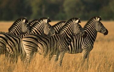 Plains zebra looking at lion herd,looking,grass,grassland,Equus burchelli,Burchell's zebra,striped,stripes,herbivores,herbivore,vertebrate,mammal,mammals,terrestrial,Africa,African,savanna,savannah,safari,zebra,wild horse,horse,h