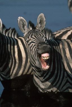 Plains zebra yawning Equus burchelli,Burchell's zebra,striped,stripes,herbivores,herbivore,vertebrate,mammal,mammals,terrestrial,Africa,African,savanna,savannah,safari,zebra,wild horse,horse,horses,equid,equine,yawn,yawni
