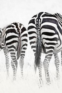 Black and white, plains zebra with foal. black and white,rear,hind,backside,bum,rump,bums,tail,tails,mother and foal,foal,mother and calf,Equus burchelli,Burchell's zebra,striped,stripes,herbivores,herbivore,vertebrate,mammal,mammals,terrest
