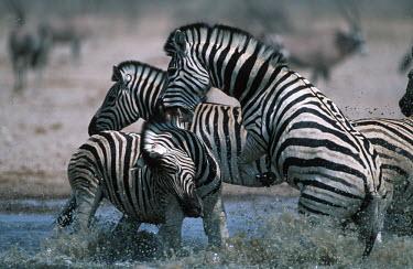Plains zebra stallions fighting. stallion,stallions,male,fight,fighting,rival,rivalry,kick,kicking,water hole,watering hole,Equus burchelli,Burchell's zebra,striped,stripes,herbivores,herbivore,vertebrate,mammal,mammals,terrestrial,A