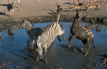 Plains zebra stallions fighting. stallion,stallions,male,fight,fighting,rival,rivalry,kick,kicking,water hole,watering hole,mud,muddy,Equus burchelli,Burchell's zebra,striped,stripes,herbivores,herbivore,vertebrate,mammal,mammals,ter