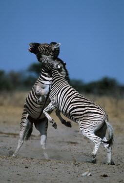Plains zebra stallions fighting stallion,stallions,male,fight,fighting,rival,rivalry,kick,kicking,head butt,Equus burchelli,Burchell's zebra,striped,stripes,herbivores,herbivore,vertebrate,mammal,mammals,terrestrial,Africa,African,s