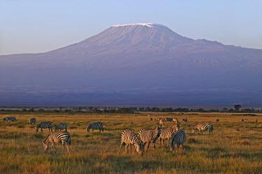 Plains zebra herd with Kilimanjaro in background. Equus burchelli,Burchell's zebra,striped,stripes,herbivores,herbivore,vertebrate,mammal,mammals,terrestrial,Africa,African,savanna,savannah,safari,zebra,wild horse,horse,horses,equid,equine,herd,group