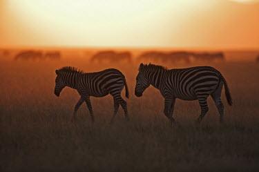 Plains zebra silhouette against sunrise. sunrise,dawn,daybreak,silhouette,morning,orange,fade,brown,sun,sunlight,horizon,negative space,Equus burchelli,Burchell's zebra,striped,stripes,herbivores,herbivore,vertebrate,mammal,mammals,terrestri