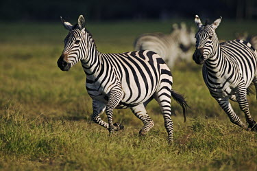 Plains zebra stallion chases a female. Equus burchelli,Burchell's zebra,striped,stripes,herbivores,herbivore,vertebrate,mammal,mammals,terrestrial,Africa,African,savanna,savannah,safari,zebra,wild horse,horse,horses,equid,equine,Plains zeb