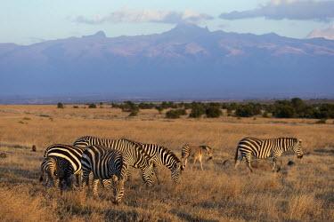 Plains zebra grazing with Mount Kenya in the background. Equus burchelli,Burchell's zebra,striped,stripes,herbivores,herbivore,vertebrate,mammal,mammals,terrestrial,Africa,African,savanna,savannah,safari,zebra,wild horse,horse,horses,equid,equine,sunrise,da