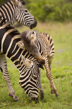 Plains zebra mother and foal. mother and foal,foal,mother and calf,baby,juvenile,young,cuddle,nuzzle,mother,motherhood,parent,Equus burchelli,Burchell's zebra,striped,stripes,herbivores,herbivore,vertebrate,mammal,mammals,terrestr