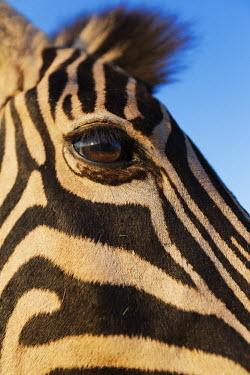 Close-up of a plains zebra eye. Equus burchelli,Burchell's zebra,striped,stripes,herbivores,herbivore,vertebrate,mammal,mammals,terrestrial,Africa,African,savanna,savannah,safari,zebra,wild horse,horse,horses,equid,equine,face,shall