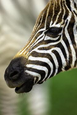 Close-up of a plains zebra face. Equus burchelli,Burchell's zebra,striped,stripes,herbivores,herbivore,vertebrate,mammal,mammals,terrestrial,Africa,African,savanna,savannah,safari,zebra,wild horse,horse,horses,equid,equine,face,shall