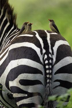 Plains zebra hind with oxpecker. oxpecker,Buphagus erythrorhynchus,bird,birds,birdlife,bum,rear,tail,hind,backside,Equus burchelli,Burchell's zebra,striped,stripes,herbivores,herbivore,vertebrate,mammal,mammals,terrestrial,Africa,Afr