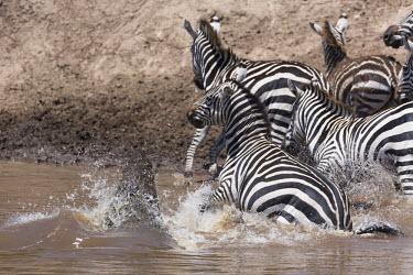 Grevy's zebra falling victim to crocodile ambush prey,victim,crossing,migration,danger,dangerous,food,eaten,dinner time,crocodile,Nile crocodile,croc,Crocodylus niloticus,attack,ambush,predator,predation,Equus burchelli,Burchell's zebra,striped,stri