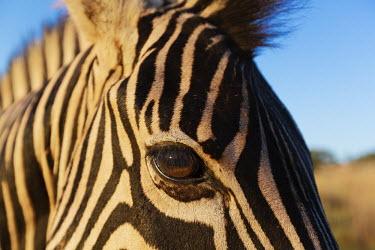 Close-up of a plains zebra eye. Equus burchelli,Burchell's zebra,striped,stripes,herbivores,herbivore,vertebrate,mammal,mammals,terrestrial,Africa,African,savanna,savannah,safari,zebra,wild horse,horse,horses,equid,equine,Plains zeb
