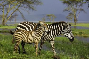 Adult plains zebra with foal. foal,mother and foal,mother and calf,wetland,flooded plain,juvenile,young,Equus burchelli,Burchell's zebra,striped,stripes,herbivores,herbivore,vertebrate,mammal,mammals,terrestrial,Africa,African,sav