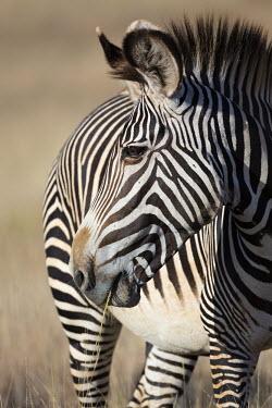 Grevy's zebra grazing. striped,stripes,herbivores,herbivore,vertebrate,mammal,mammals,terrestrial,Africa,African,savanna,savannah,safari,zebra,wild horse,horse,horses,equid,equine,pattern,patterns,Grevy's zebra,Equus grevyi