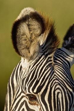 Close up of a Grevy's zebras ear ear,close up,listen,hearing,striped,stripes,herbivores,herbivore,vertebrate,mammal,mammals,terrestrial,Africa,African,savanna,savannah,safari,zebra,wild horse,horse,horses,equid,equine,Grevy's zebra,E