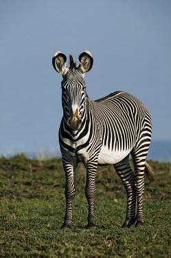 Grevy's zebra side on. striped,stripes,herbivores,herbivore,vertebrate,mammal,mammals,terrestrial,Africa,African,savanna,savannah,safari,zebra,wild horse,horse,horses,equid,equine,pattern,patterns,Grevy's zebra,Equus grevyi