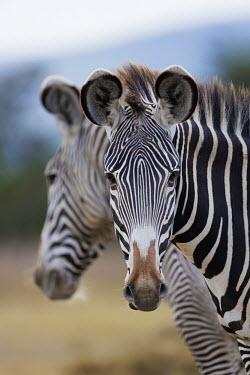 Grevy's zebra with another mirroring in the background. face,reflection,ears,snout,symmetry,symmetrical,striped,stripes,herbivores,herbivore,vertebrate,mammal,mammals,terrestrial,Africa,African,savanna,savannah,safari,zebra,wild horse,horse,horses,equid,eq