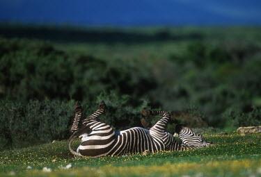 Cape mountain zebra, endemic to mountain regions of The Cape, rolling in the flowers. mountain zebra,rolling,behaviour,happy,relax,relaxed,meadow,buttercup,striped,stripes,herbivores,herbivore,vertebrate,mammal,mammals,terrestrial,Africa,African,savanna,savannah,safari,zebra,wild horse