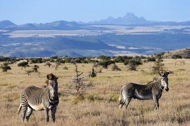 Grevy's zebra with Mount Kenya in the background striped,stripes,herbivores,herbivore,vertebrate,mammal,mammals,terrestrial,Africa,African,savanna,savannah,safari,zebra,wild horse,horse,horses,equid,equine,pattern,patterns,Grevy's zebra,Equus grevyi