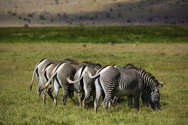 Rear view of a Grevy's zebra rear,bum,bums,backside,rump,hind,negative space,grazing,grazers,striped,stripes,herbivores,herbivore,vertebrate,mammal,mammals,terrestrial,Africa,African,savanna,savannah,safari,zebra,wild horse,horse