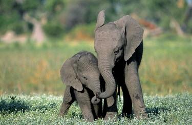 African elephant calves playing calf,calves,playful,meadow,friends,young,juvenile,juveniles,baby,babies,shallow focus,graze,grazers,mastodon,mastodons,elephant,elephants,trunk,trunks,herbivores,herbivore,vertebrate,mammal,mammals,te