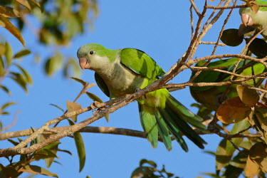 Monk parakeet birds,bird,aves,parakeets,parakeet,invasive,invasive species,colour,colourful,perching,perched,invasives,Monk parakeet,Myiopsitta monachus,Chordates,Chordata,Aves,Birds,Parrots,Psittaciformes,Parakeet