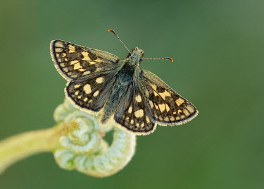 Chequered skipper perching with wings open butterfly,butterflies,flower,flowers,pollinator,pollinators,UK,United Kingdom,Great Britain,British species,portrait,wings,wing,antennae,antenna,thorax,abdomen,Chequered skipper,Carterocephalus palaem