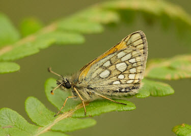 Chequered skipper perching with wings closed butterfly,butterflies,flower,flowers,pollinator,pollinators,UK,United Kingdom,Great Britain,British species,portrait,wings,wing,antennae,antenna,thorax,abdomen,Chequered skipper,Carterocephalus palaem