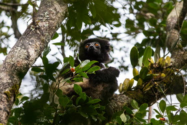Milne-Edwards' sifaka sitting in a tree sifaka,lemur,lemurs,primate,primates,Africa,Madagascar,tropical,tree,rainforest,eyes,arboreal,forest,Milne-Edwards' sifaka,Propithecus edwardsi,Indridae,Chordates,Chordata,Primates,Mammalia,Mammals,ed