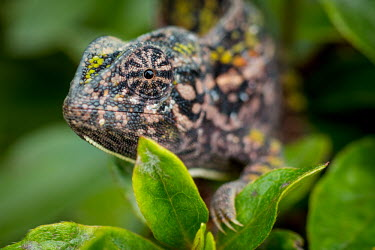 Close up of a jewel chameleon creeping through a tree chameleon,pattern,crypsis,skin,pigment,pigmentation,colourful,scales,scaly,close up,macro,eye,eyes,face,leaves,arboreal,reptile,reptiles,shallow focus,tropical,colour,lizards,lizard,Jewel chameleon,Fu